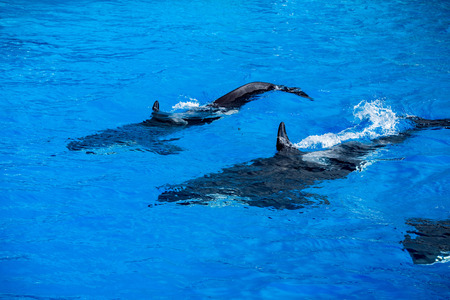 grampus: orca killer whale while swimming too you Stock Photo