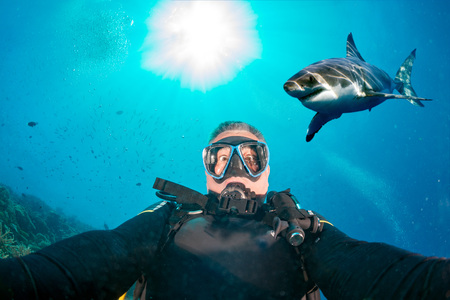 great white shark: Great white shark ready to attack a scuba diver