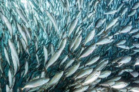 inside a giant sardines school of fish bait ball