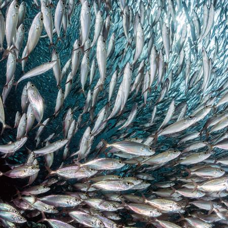 sardinas: dentro de una escuela sardina gigante de la bola de cebo de pescado