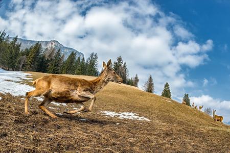 venado cola blanca: Ciervos, mientras que se ejecuta en el fondo de la hierba