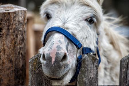 mule: mule donkey portrait close up on mountain background
