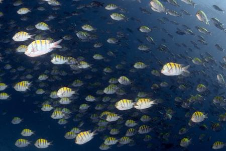 bait ball: inside a Sergeant fish bait ball underwater on the deep blue ocean background Stock Photo