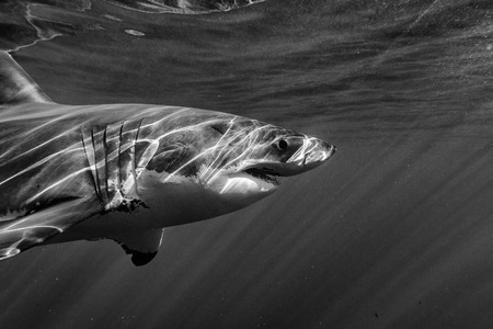 guadalupe island: Great White shark while coming to you on deep blue ocean background in black and white Stock Photo