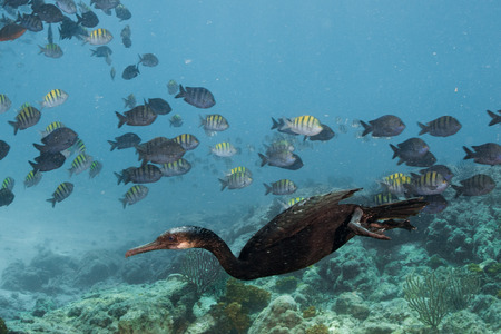 bait ball: cormorant while fishing underwater in bait ball in the deep blue sea