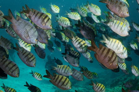 inside a Sergeant fish bait ball underwater on the deep blue ocean background Stock Photo