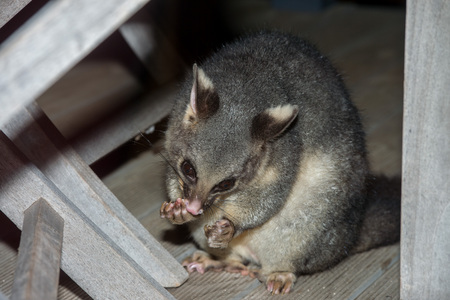 brush tailed: brush tailed possum portrait while looking at you Stock Photo