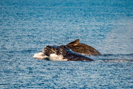 breaching: Humpback whales swimming in West Australia Stock Photo
