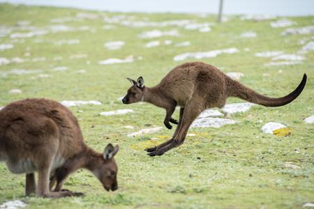 Kangaroos while jumping at sunset in kangaroo island Imagens - 50880656