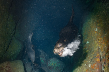 pinniped: Male sea lion seal coming to you underwater to attack with open mouth