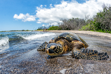 Green Turtle while relaxing near sandy beach