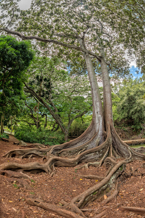 enormous: enormous roots big tree at Arlington botanical gardensset of pirates of caribbean