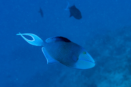 trigger fish: blue trigger fish portrait while diving maldives