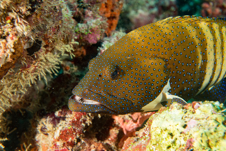oceanic: Oceanic colorful red grouper on the reef background