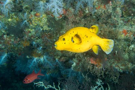puffer fish close up portrait