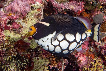 triggerfish: clown triggerfish portrait in maldives Stock Photo