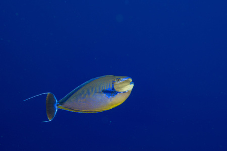 blue tang fish: surgeon fish in the blue while diving in maldives