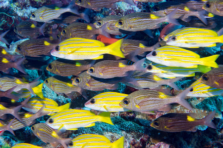 sweetlips: school of sweet lips fish looking at you in Maldives