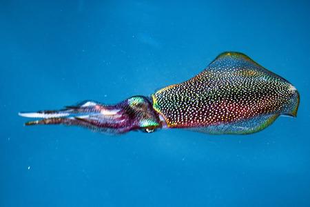 calamares: sepia calamar Cierre colorido bajo el agua encima del retrato en Maldivas Foto de archivo