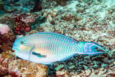 wrasse: parrot fish in maldives close up