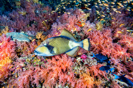soft corals: titan triggerfish on soft corals background