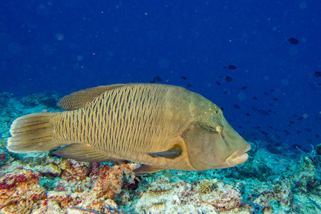 cheilinus undulatus: napoleon fish in the blue background