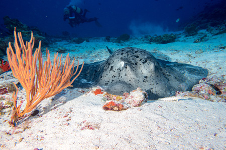 parsnip: parsnip stingray fish on sand underwater Stock Photo