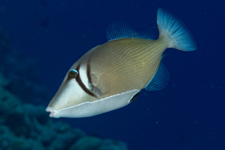balistoides conspicillum: clown triggerfish portrait in maldives Stock Photo