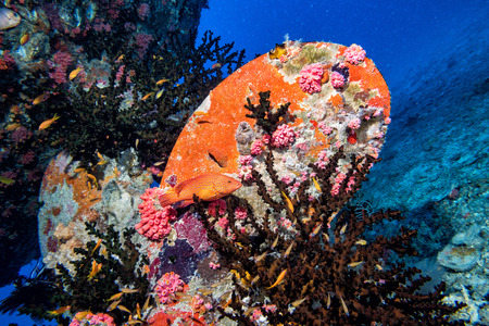 sunken boat: corals growing on Ship Wreck underwater while diving