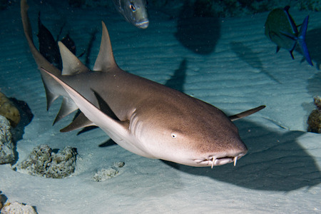 Nurse Shark and yellow pilot fish close up on black background while diving in Maldives Archivio Fotografico