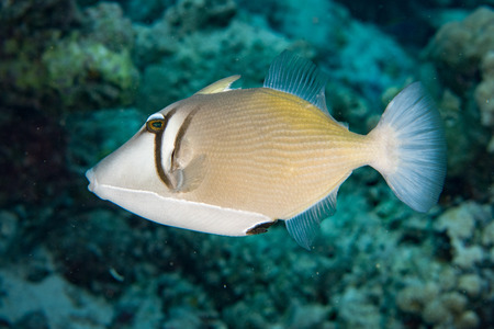balistoides: clown triggerfish portrait in maldives Stock Photo
