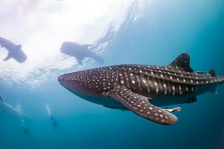 고래 상어는 아주 가까운 파푸아에서 수중 당신을 찾고 스톡 콘텐츠