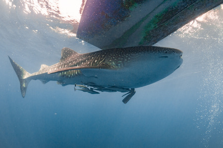whale shark: Whale Shark very near looking at you underwater in Papua