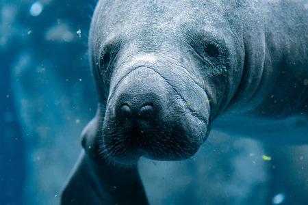 manatee close up portrait underwater 写真素材