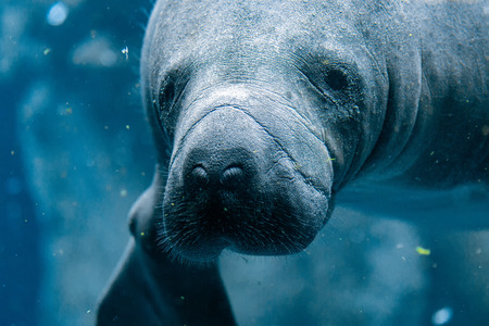 manatee close up portrait underwater Stockfoto