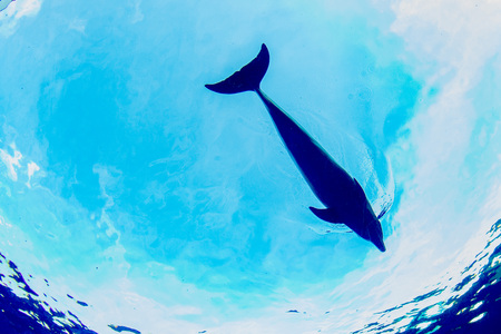under: silhouette of dolphin underwater on ocean background Stock Photo