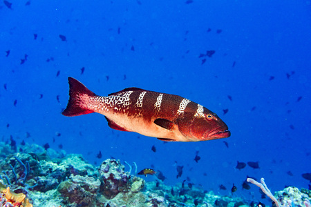 sea fishing: Oceanic colorful red grouper on the reef background