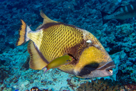 trigger fish: titan triggerfish on soft corals background
