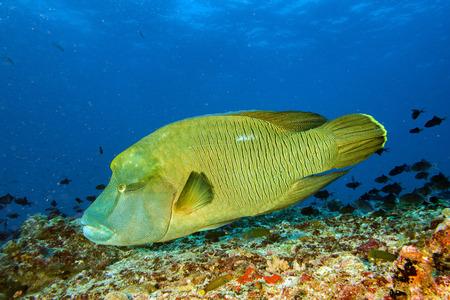 napoleon fish: napoleon fish in the blue background