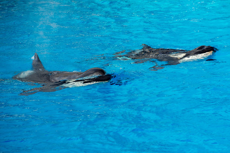 grampus: orca killer whale while swimming to you Stock Photo