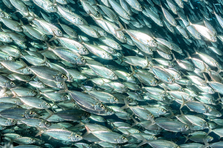 sardines: inside a giant sardines school of fish bait ball