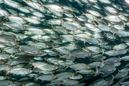 bait ball: inside a giant sardines school of fish bait ball