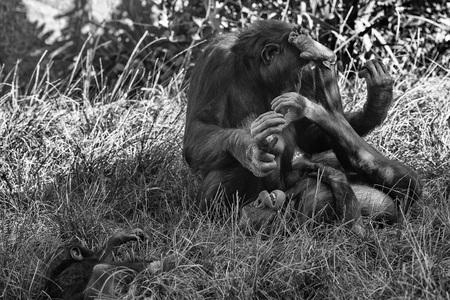 bonobo: portrait of bonobo ape close up looking at you