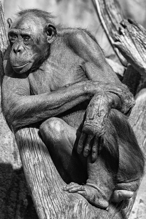 bonobo: portrait of bonobo ape close up looking at you in black and white