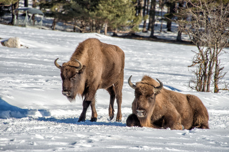 male bull: european bison mother and calf puppy portrait on snow background