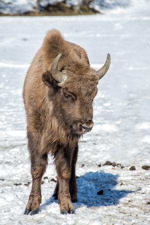 bull head: european bison calf puppy portrait on snow background