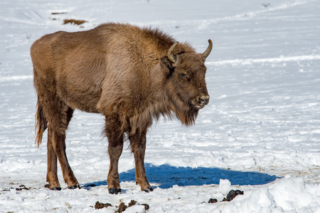 male bull: european bison portrait on snow background