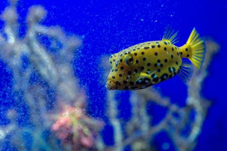 boxfish: Yellow Box Fish ostracion cubicus close up portrait