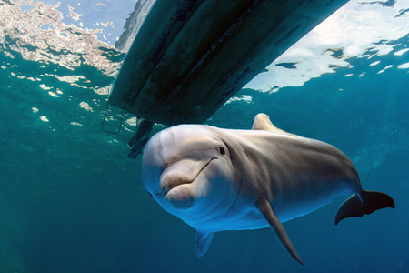 dolphin underwater on ocean background looking at you