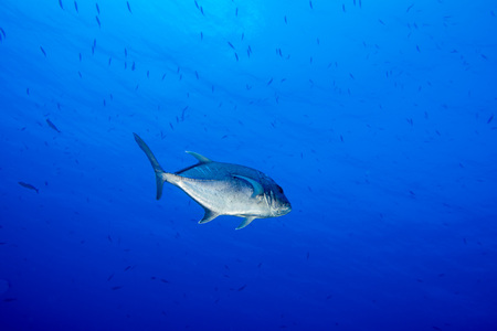 scuba: Giant trevally caranx fish on the blue ocean background
